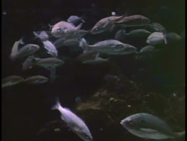 ATLANTIC OCEAN, BERMUDA, 1994, School of fish, underwater footage, off the coast   Shutterstock HD Video #1024788908