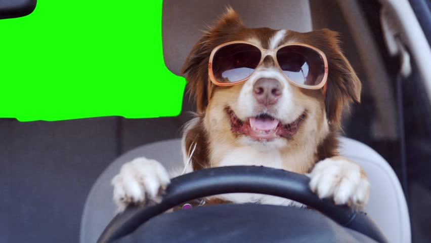 A dog driving a car on a green screen background wearing funny sunglasses | Shutterstock HD Video #1024867418
