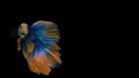 Super slow motion of Siamese fighting fish (Betta splendens), well known name is Plakat Thai, Betta is a species in the gourami family, which is a popular fish in the aquarium trade
