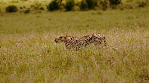 Cheetah in Maasai Mara park, Kenya