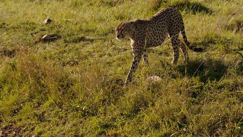 Cheetahs in Maasai Mara park, Kenya
