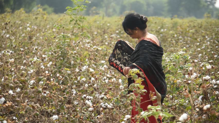 AMRAVATI, MAHARASHTRA, INDIA 2 DECEMBER 2018 : Unidentified Indian woman farmer harvesting cotton in the cotton field at morning, An Indian rural farming scene. | Shutterstock HD Video #1025115968