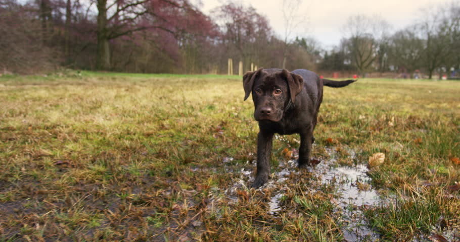 Close up of a young labrador walking through flooded meadows in slow motion | Shutterstock HD Video #1025123438