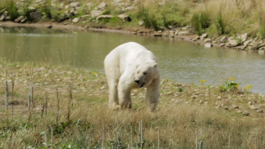 A large polar bear, Ursus maritimus, walking through grass beside a shallow creek in summer. Bright sunlight shining on a huge white bear as it walks near a stream.