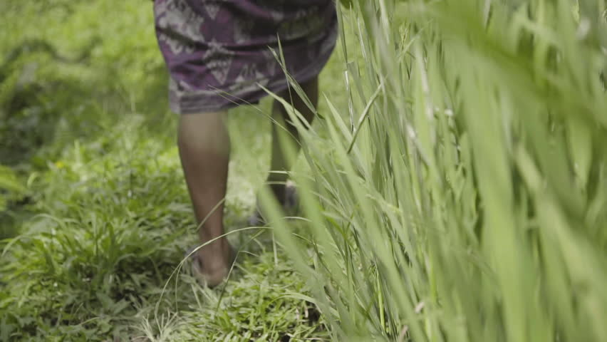 INDONESIAN MAN IN SARONG WALKS THROUGH RICE TERRACES  2- TWO SHOT VARIATIONS | Shutterstock HD Video #1025349638