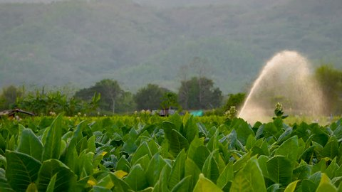 watering tobacco field in the agricultural garden by water springer in farm Thailand