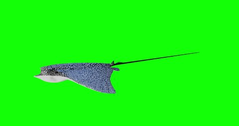 The Spotted eagle ray isolated on green screen with alpha channel section, 3D rendering motion graphic.