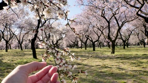 A close up video of a female hand  touching pink flowers of an almond tree in spring in Europe at the park of Quinta de los Molinos in Madrid, Spain. Famous park in Madrid with blooming almond trees.