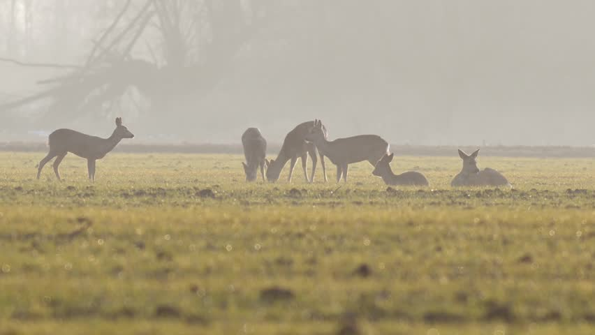 Beautiful roe deers, nature of Europe in warm spring light. | Shutterstock HD Video #1025615528