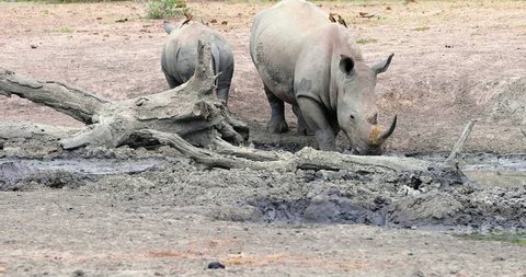 rhinoceros with young rhinoceros in kruger park in south africa