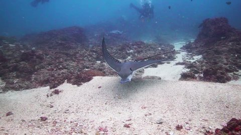 Amazing Eagle-ray digging on the sand looking for food. Clear and steady shot with great colours.