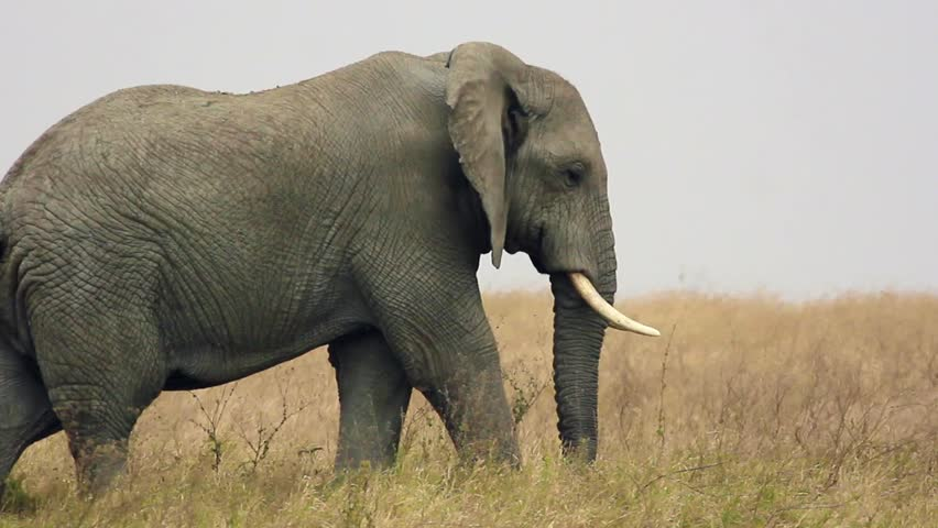 Elephants in the Serengeti National parks | Shutterstock HD Video #1025799638