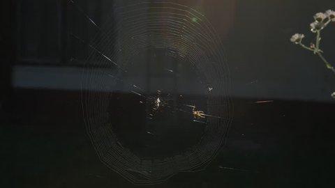 Spider making web timelapse footage