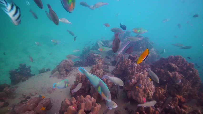 A big school of colorful Parrot fish swimming over an amazing coral reef full of colors and other marine life. | Shutterstock HD Video #1025901158
