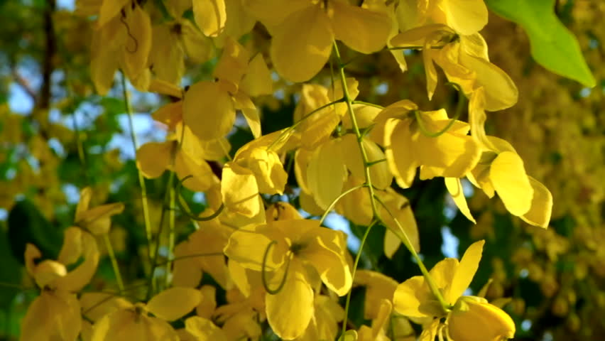 Cassia fistula Flowers blooming in summer of Thailand.This yellow flower is the National flower of Thailand.