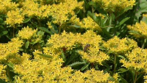 Honeybee collecting nectar from Orange stonecrop(Sedum kamtschaticum) flowers