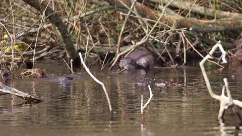 European Otters, Lutra lutra, swimming, gliding, hunting and fishing on a river within a town during spring in Scotland.