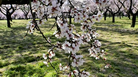 A video with changing focus of pink flowers of almond trees in blossom in spring in Europe at the park of Quinta de los Molinos in Madrid, Spain in spring.