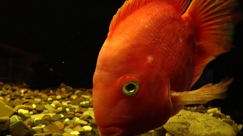 The red parrot (blood parrot cichlid) is an aquarium fish that is bred artificially and is not found in nature. In English-speaking countries, it is called Red Parrot Cichlid.
