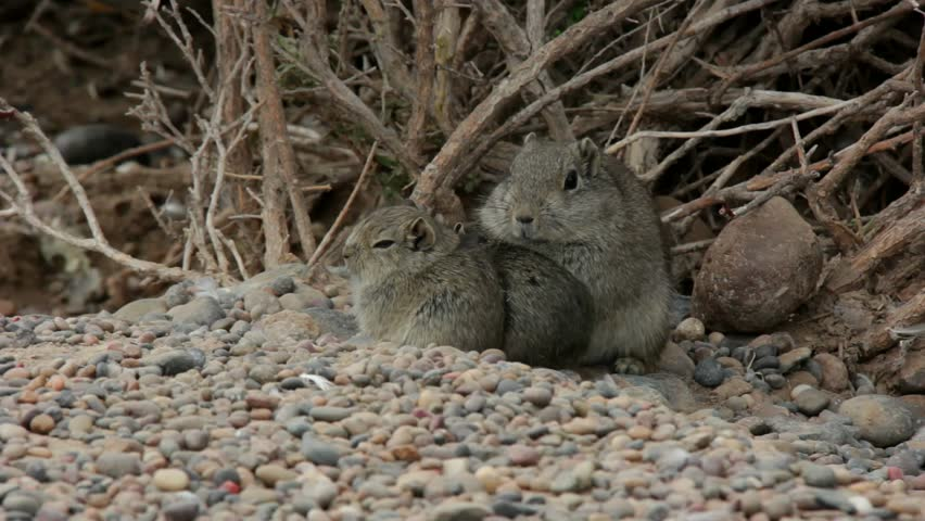 Atlas Gundi rodent family outside the nest in Argentina