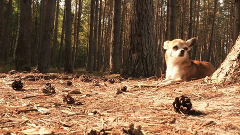 The camera moving towards the little cute chihuahua dog, who lying on nature and enjoying the spring sun. Chiwawa dog lying on the forest substrate of pine needles. Dog lies and rests on a path in the