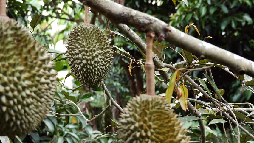 fresh durian garden agriculture king fruit, famous and delicious Thai fruit.