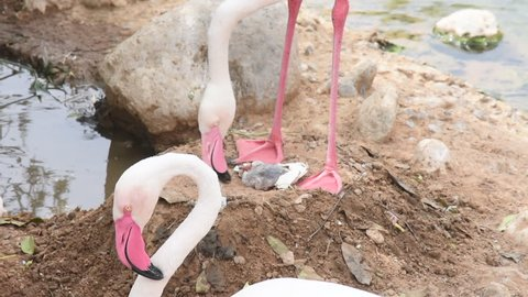 A Mother Greater Flamingo (Phoenicopterus roseus) stands over her newly hatched baby out of the egg protecting it and helping get the shell off.