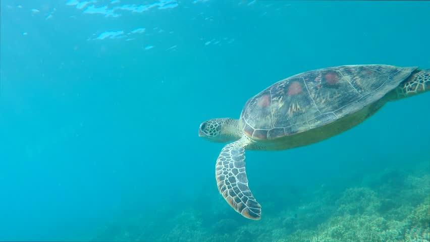 Underwater Swimming Turtle #1027063748