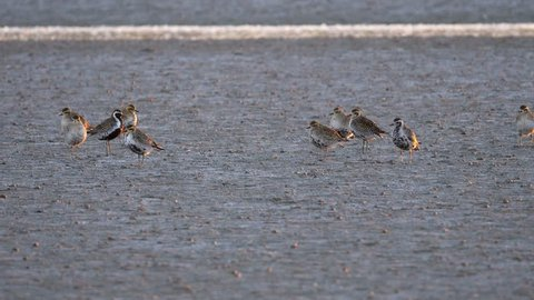 Flock of Pacific Golden Plovers resting on a mudflat at dawn near Miranda in New Zealand