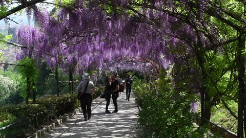 Florence, 23 April 2018: Tourists under the famous wisteria tunnel at Bardini garden in Florence, Italy. Full bloomed purple wisteria. 4K Ultra HD Video.