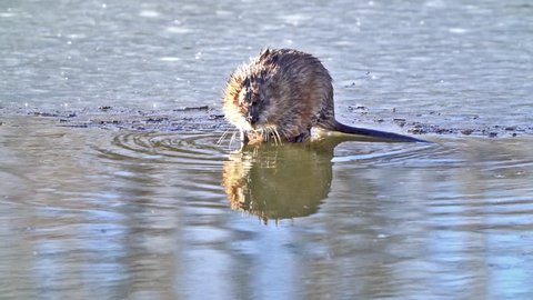 Wet Muskrat Shake Off - A wet muskrat shakes off the water from its body after emerging from a hole in the ice. Slow Motion. Lakewood, Colorado.