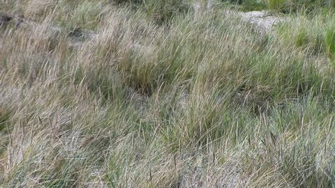 Reeds growing on the sand dunes at Liseleje Beach by Tisvilde forest and coastal area on the Danish island of Zealand. A gentle breeze is blowing.