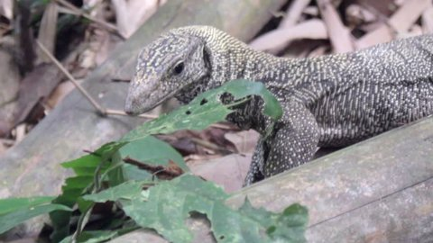 Monitor lizard walking through jungle