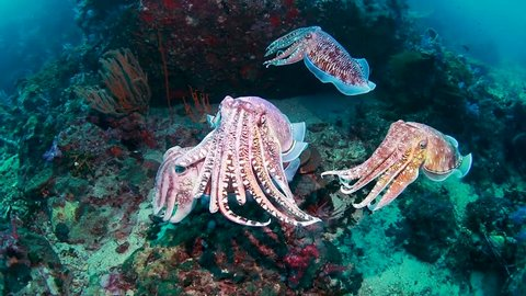 Mating Cuttlefish on a tropical coral reef (Richelieu Rock)