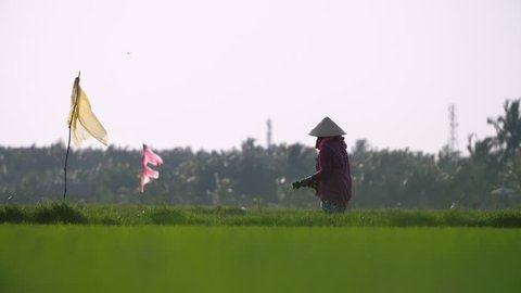 A traditional female farm worker harvests rice by hand in Vietnam rice paddy. Filmed in Slow Motion.