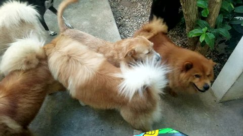 Pack Of Chow Chow Dogs Outside Walking Around Each Other