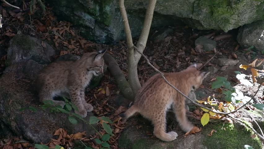 Two Eurasian lynx (Lynx lynx) kittens playing with dead rabbit prey in autumn forest