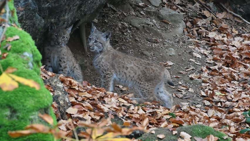 Two Eurasian lynx (Lynx lynx) kittens at den entrance in forest