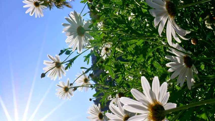 Vertical video. Field of white daisy flowers swaying on the wind. Blue sky background