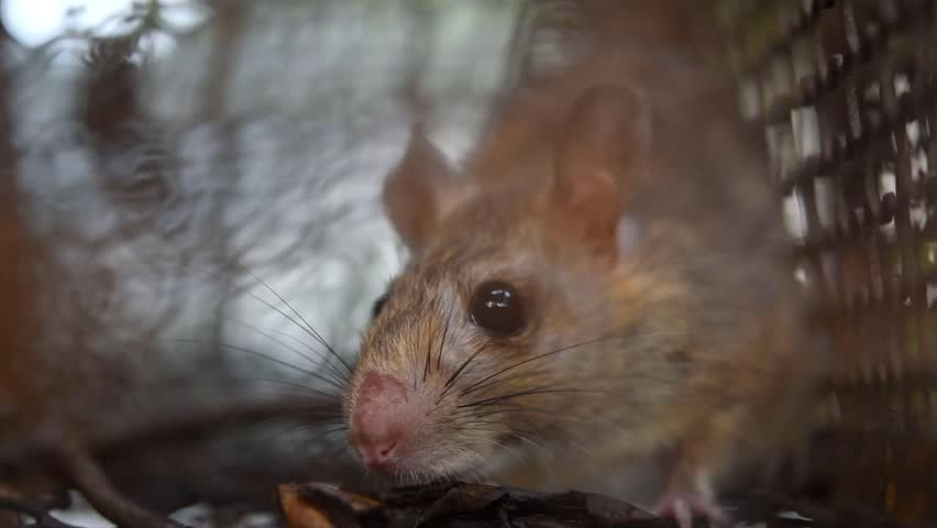 Closeup a Rat in the Stock Footage Video (100% Royalty-free) 1027631318 |  Shutterstock