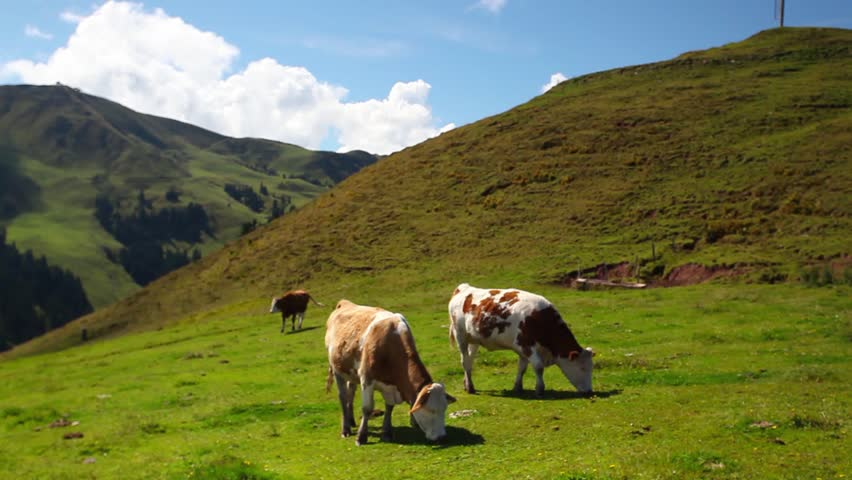 White and brown cows on the mountain pastures #10276598