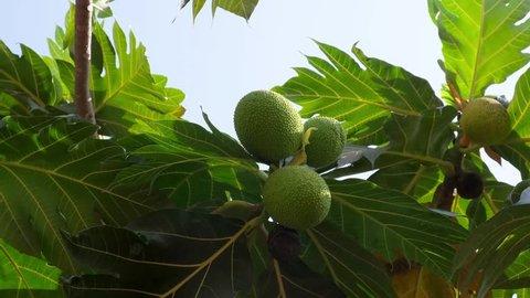 Green breadfruit on the breadfruit tree.