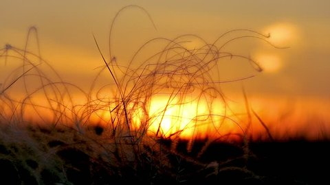Stipa plants in beautiful sunset light in the meadow in springtime in Hungary