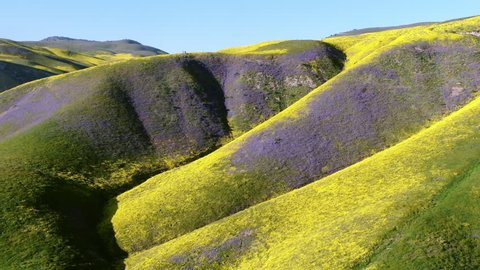 Aerial Shot Goldfields And Purple Tansy Flowers Super Bloom On Mt Ridges Near Carrizo Plain National Monument California