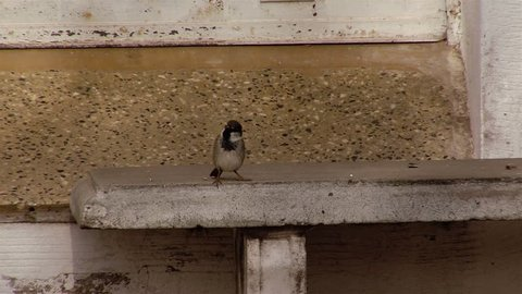 House Sparrow On Building Roof.