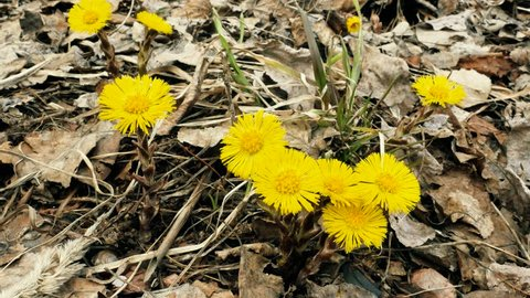 Coltsfoot flower in spring.