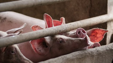 Pig nature farm