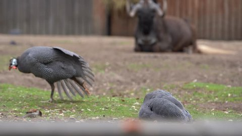 The grass is one fowl, fowl the second goes next, in the background lies and sleeps a large Black wildebeest