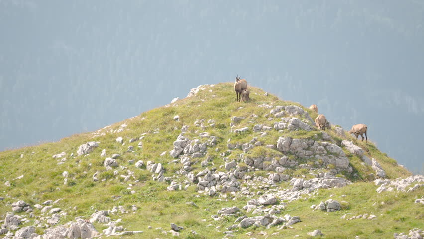 Chamois baby feeding from mothers udder. Then both lay down and relax