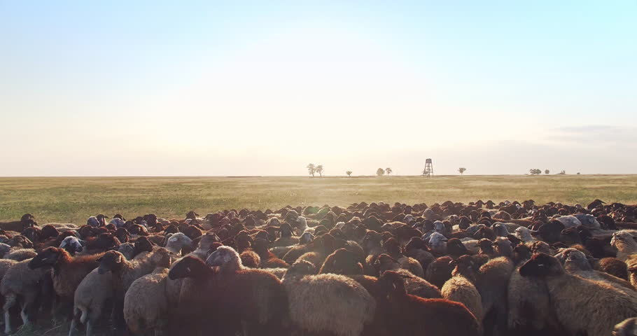 Cinematic aerial view at extremely low altitude of flock of sheep in Ukrainian steppe